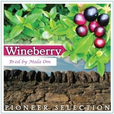 Wineberry Pioneer Collection by Eugenie Ombler